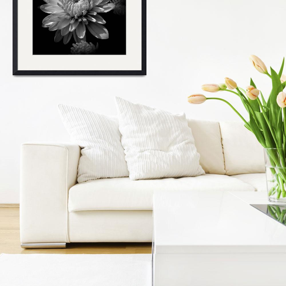 """Chrysanthemum In Black and White&quot  (2012) by bavosiphotoart"