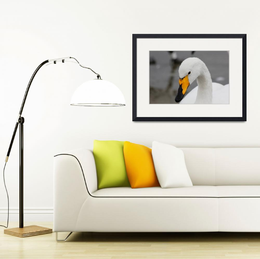 """Whooper Swan&quot  (2011) by derekbeattieimages"