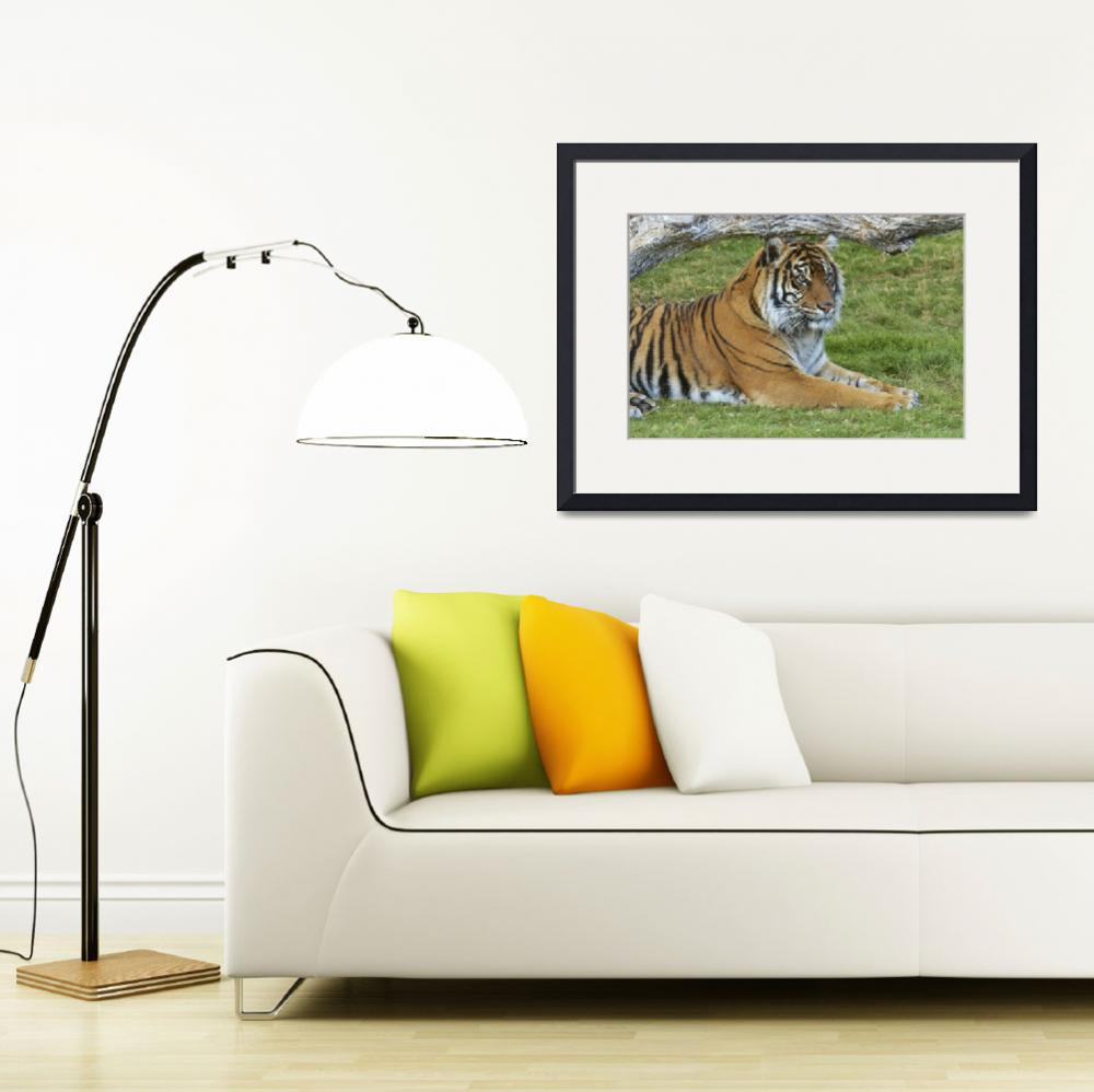 """Siberian Tiger Relaxing&quot  by digitallightcreations"