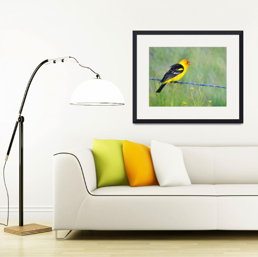 """western tanager on wire near glenwood Utah 1&quot  by houstonryan"