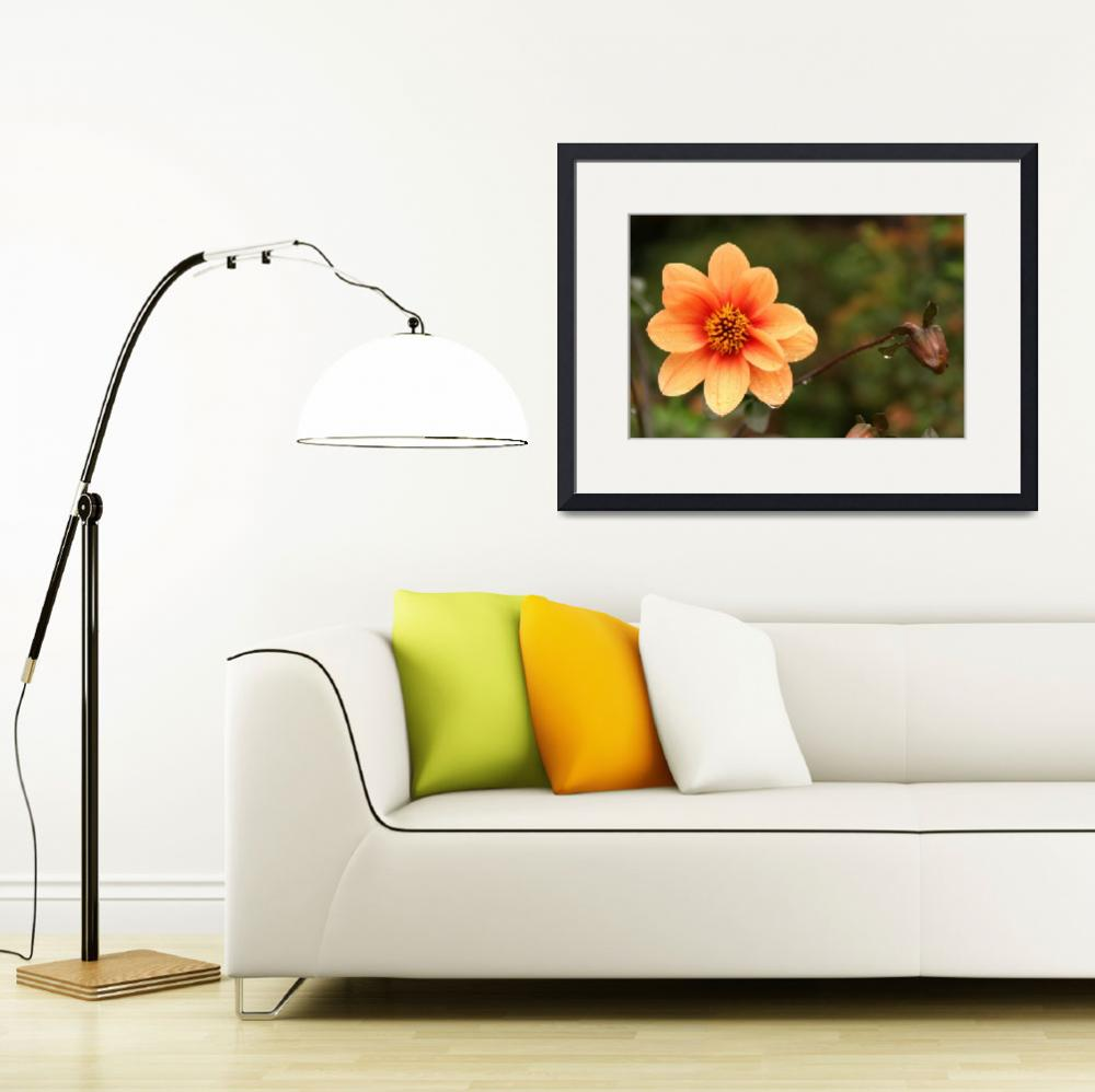 """Orange Dahlia&quot  by AndreaMoorePhotography"