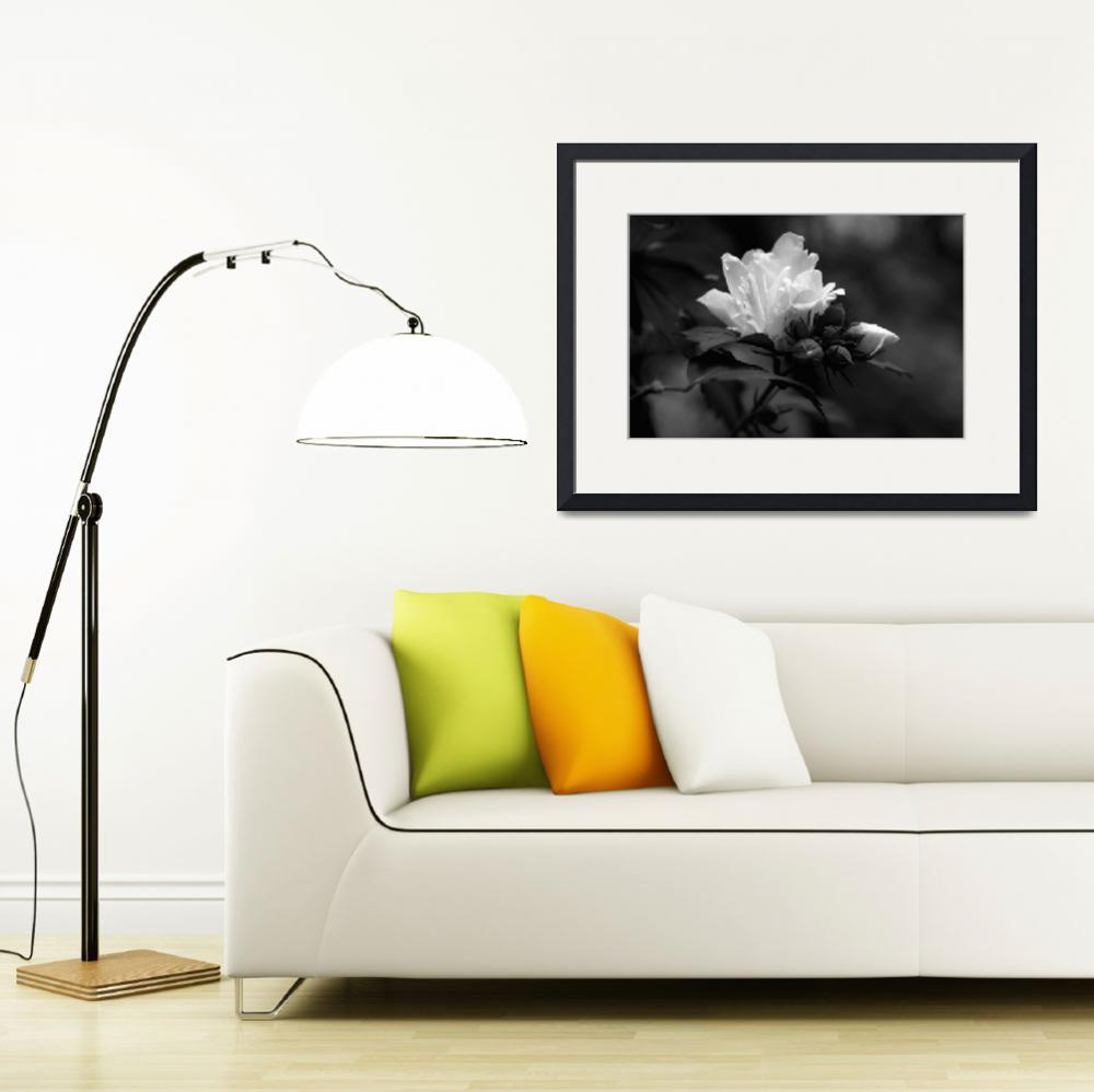 """Rose of Sharon   B&W&quot  (2012) by bavosiphotoart"
