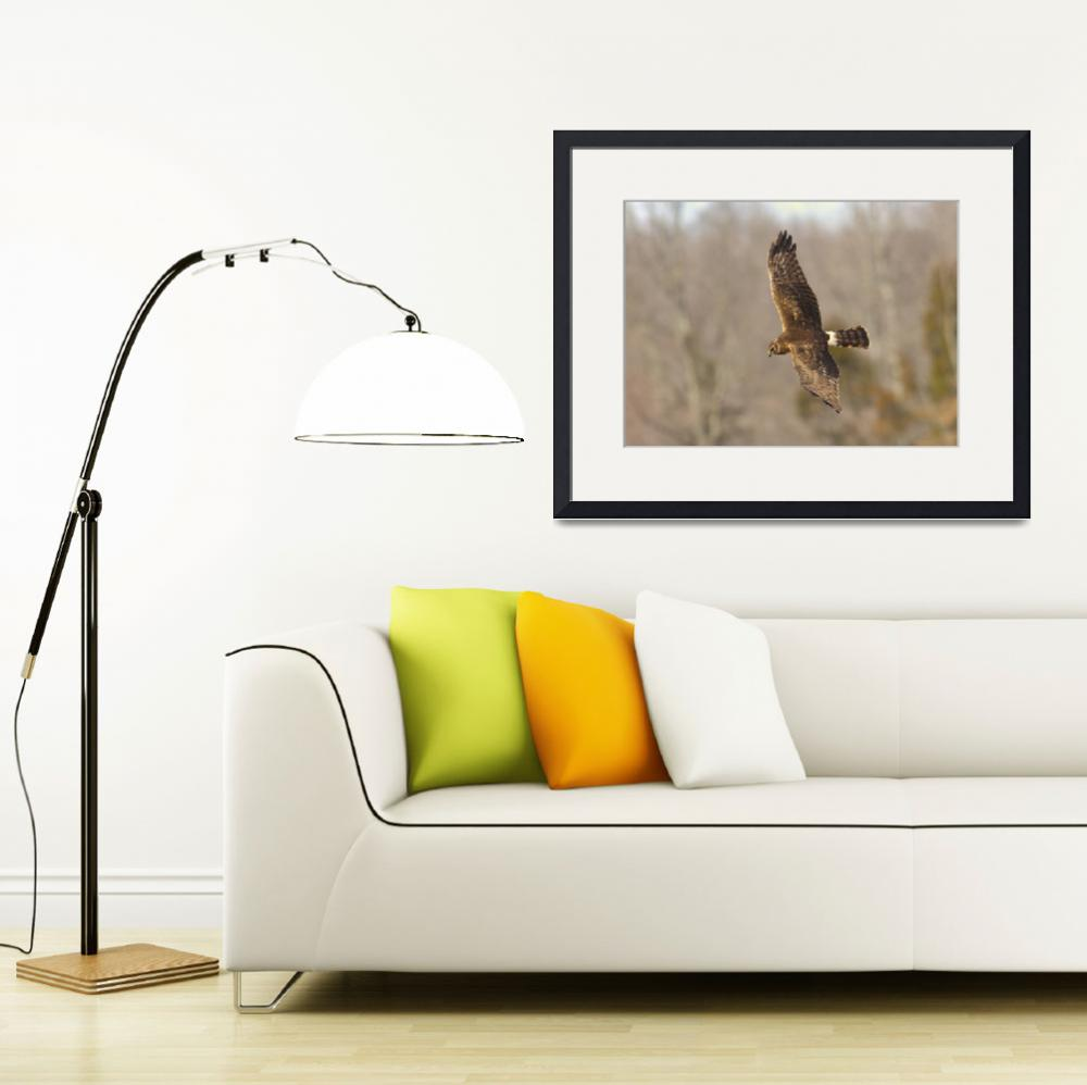 """Northern Harrier in flight with forest in backgrou&quot  by birds2flight"