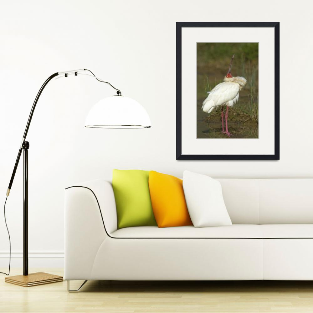 """Side profile of an African spoonbill&quot  by Panoramic_Images"