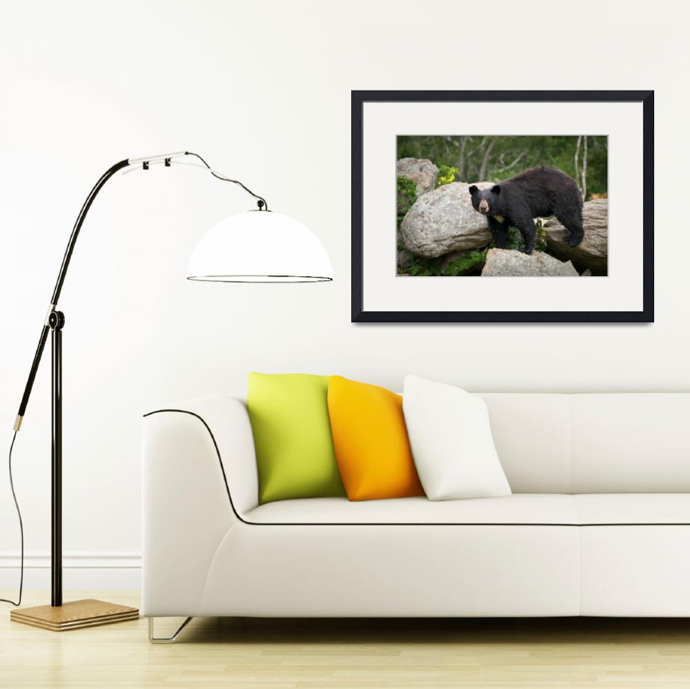 """American Black Bear in Blue Ridge Mountains&quot  (2010) by DAPhoto"