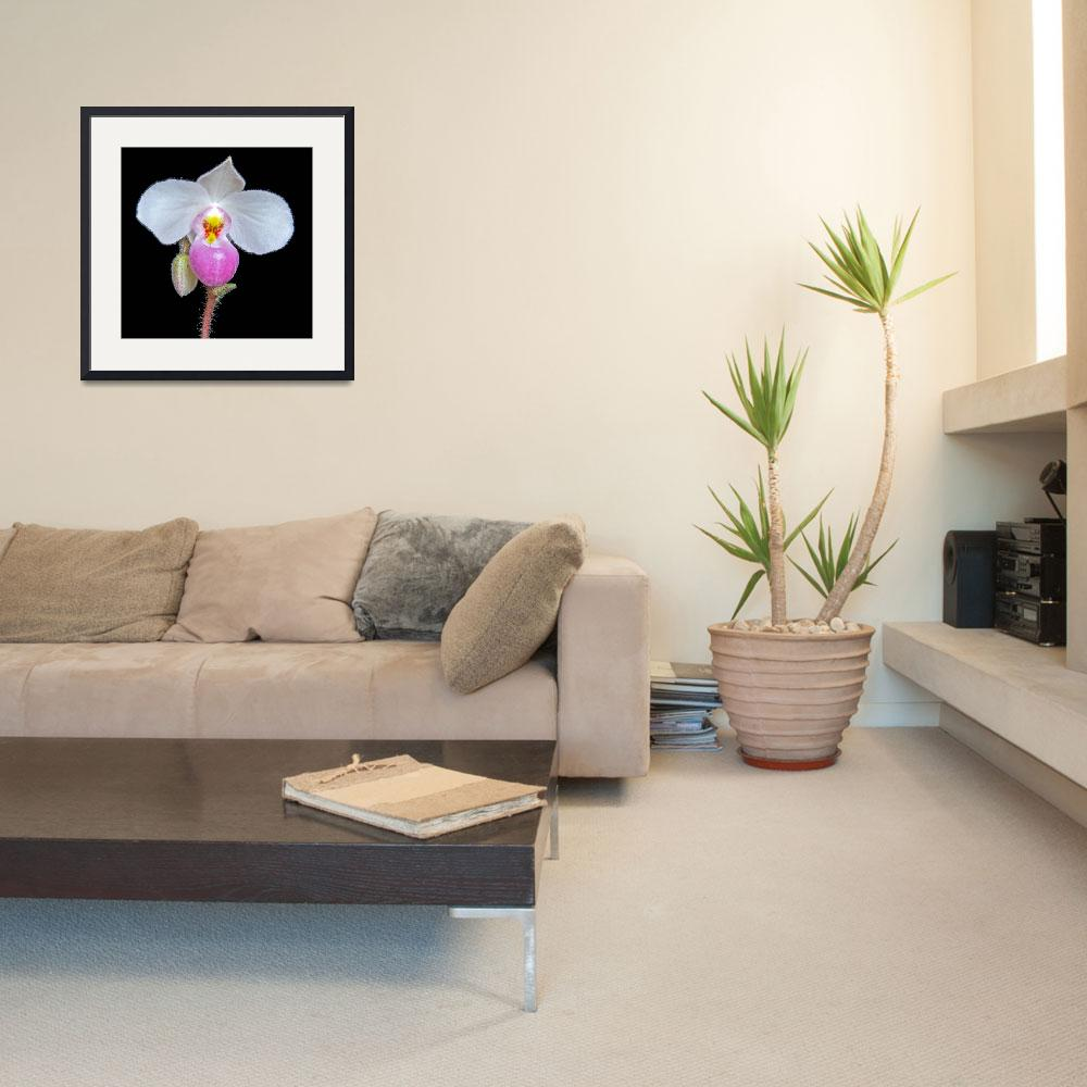 """Paphiopedilum Delenatii&quot  (2009) by ImageArt-Photography"
