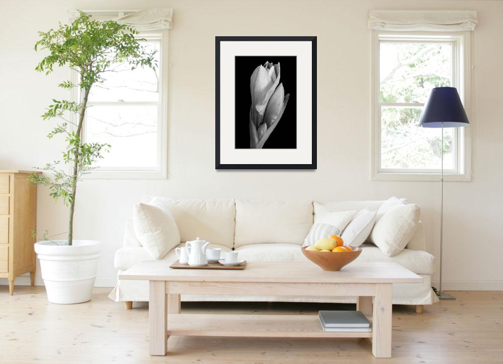 """Amaryllis in Black and White 12-22-10&quot  (2010) by lightningman"