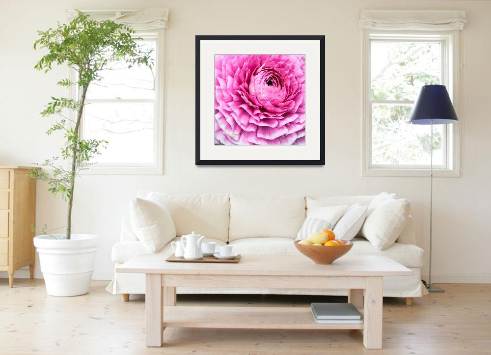 """Pink Ranunculus Flower Bloom&quot  (2011) by johncorney"