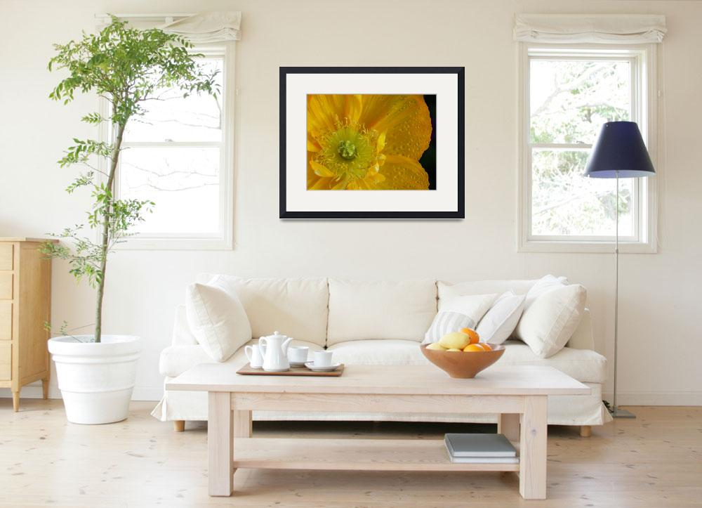 """Yellow Iceland Poppy&quot  (2005) by KatRosePhotography"