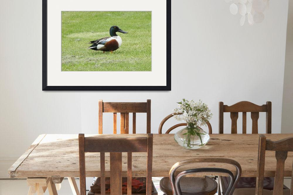 """Northern Shoveler Duck&quot  (2010) by cameragal"