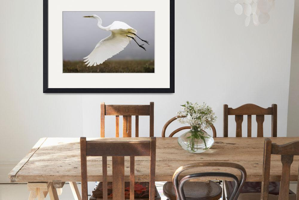 """Great Egret (Ardea alba), great-egret_MG_5189&quot  by mikebaird"