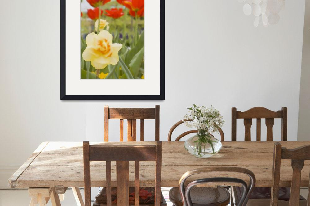 """Yellow Daffodil and  Red Tulips&quot  by aicramphoto"