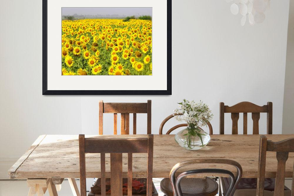 """Field of Sunflowers - sindh sunfowers18&quot  (2008) by davies"