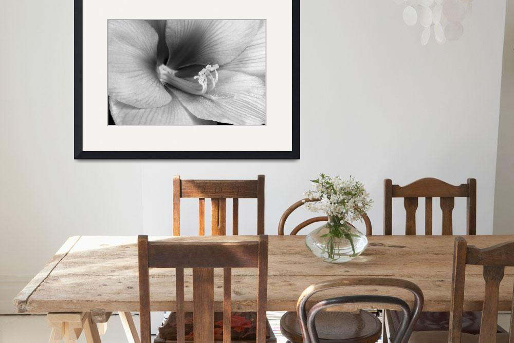 """Amaryllis Flower Bloom in black and white&quot  (2010) by lightningman"
