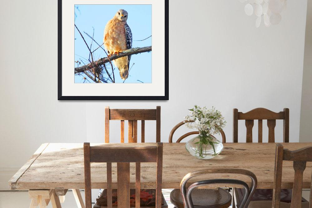 """Red-shouldered Hawk&quot  (2010) by shelshots"