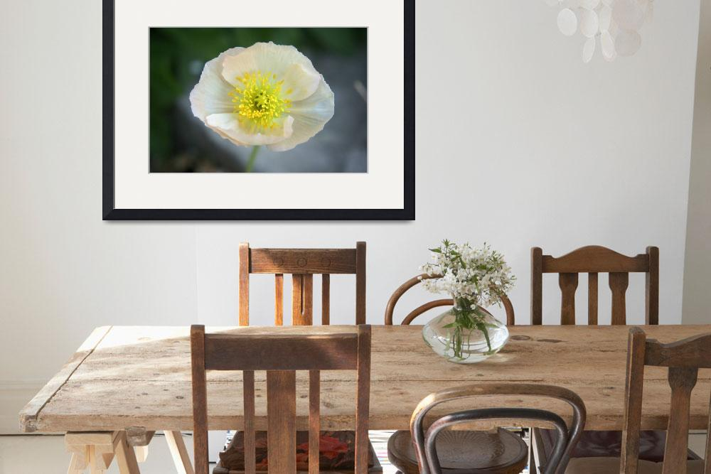 """White Poppy&quot  by AndreaMoorePhotography"