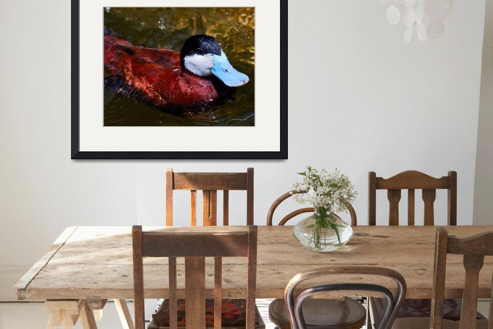 """Northern Ruddy Duck&quot  (2010) by johncorney"