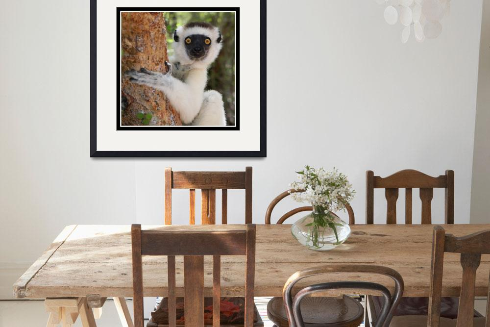 """Sifaka in Berenty&quot  by DavidDennis"
