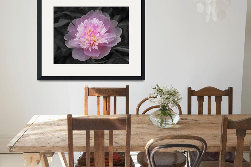 """Flowering spring peony in pink and grey&quot  (2008) by garthglazier"