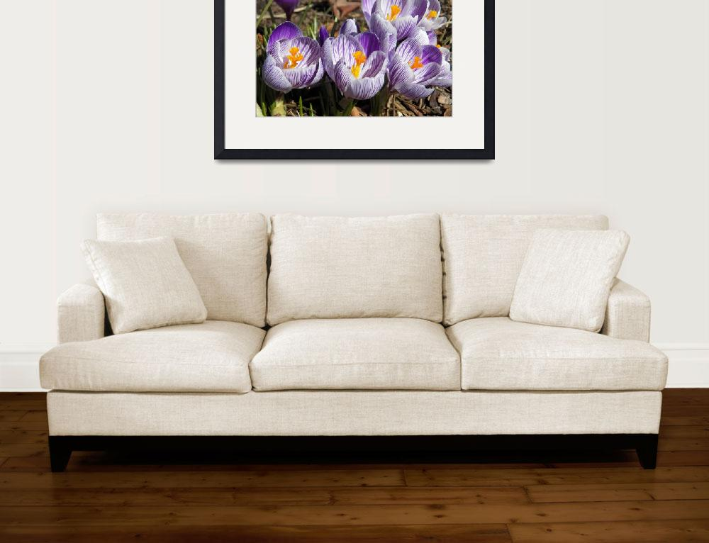 """Spring Crocus Flowers&quot  (2016) by vpicks"