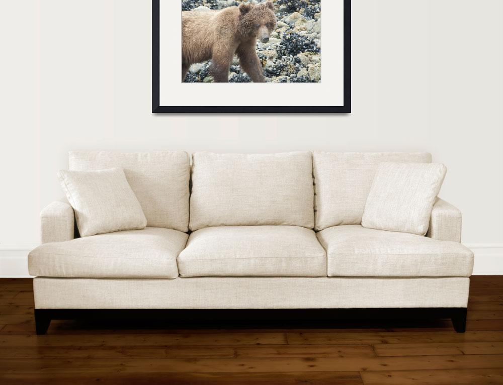 """Brown Bear Closup, Glacier Bay Beach&quot  (2008) by SederquistPhotography"