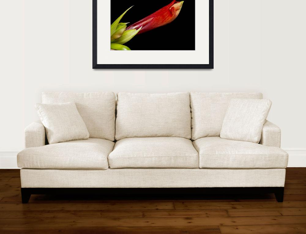 """A close Up of an  Colorful Orange Amaryllis Buddin&quot  (2011) by lightningman"