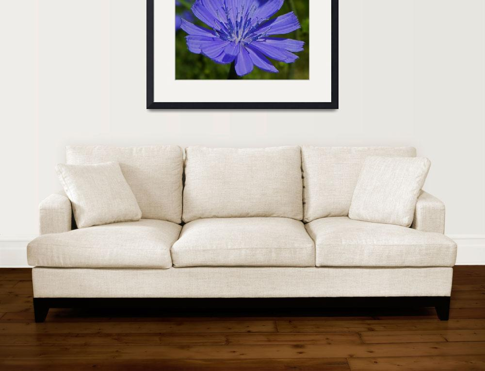 """Botanical - Cichorium Intybus - Outdoors Floral&quot  by artsandi"