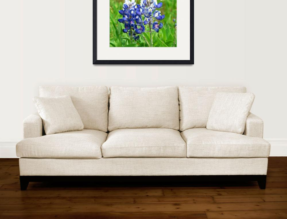 """Texas Bluebonnet Wildflowers1100067&quot  (2010) by rayjacque"