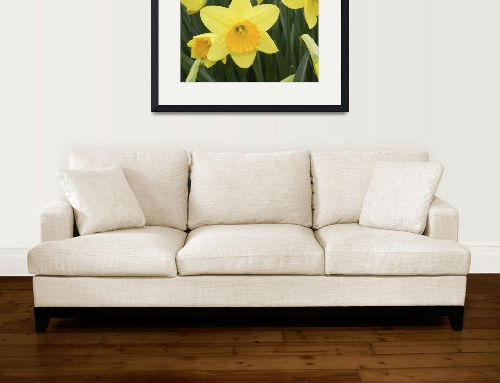 """Dutch Master Daffodil&quot  (2009) by Kimmary"