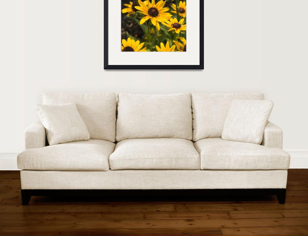 """Looking to the Sky - Black-eyed Susan&quot  by tricia"