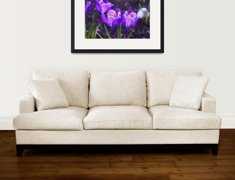 """Purple Crocus Flowers Spring Gardens Floral&quot  (2014) by BasleeTroutman"