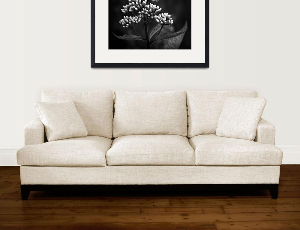 """Joe Pye Weed&quot  (2010) by bavosiphotoart"