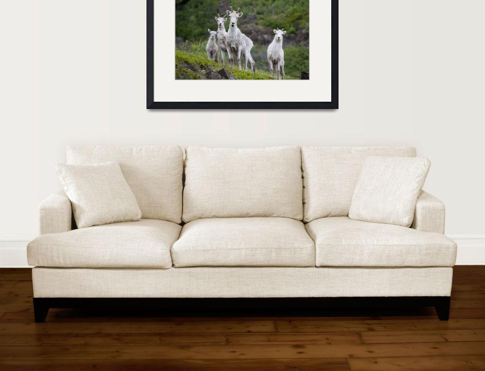 """Three Adult Dall Sheep Ewes With One Lamb, Chugach&quot  by DesignPics"