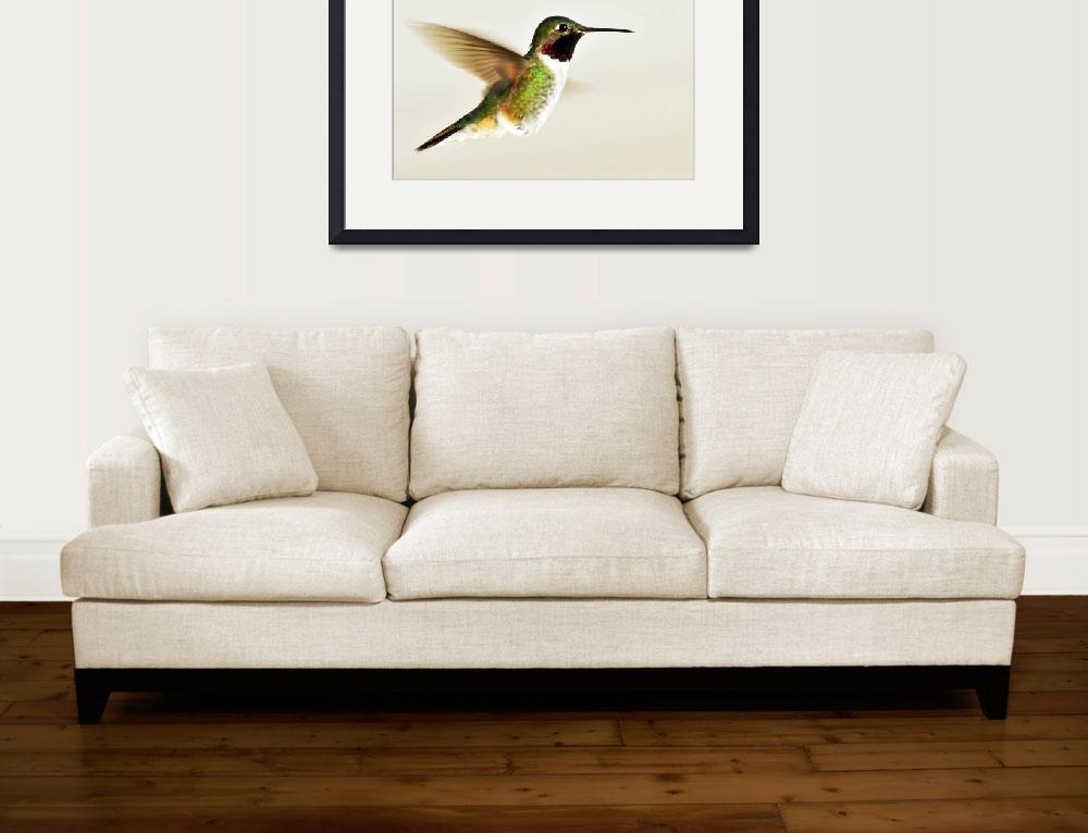 """broad tailed hummingbird male flight&quot  by houstonryan"