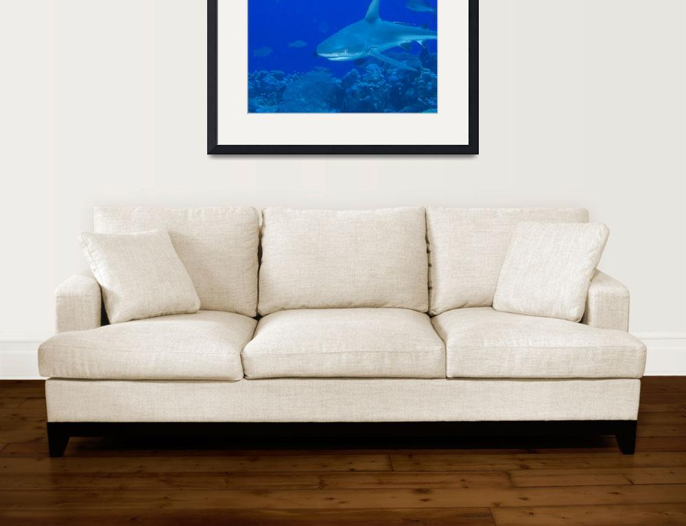 """Gray Reef Shark&quot  (2009) by Mac"