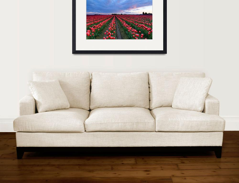 """Red Sky over Tulips&quot  (2016) by Dawsonimages"