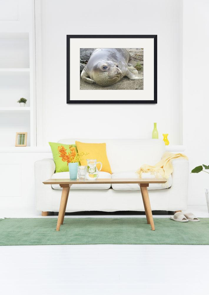 """Elephant Seal thoughts&quot  by eyalna"