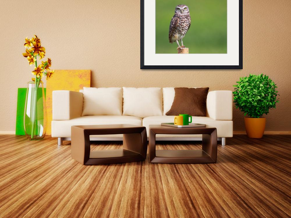 """Brian Piccolo Burrowing Owl I&quot  by PSimmons"