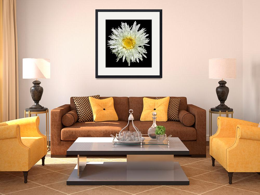 """White Shaggy Shasta Daisy On Black&quot  (2008) by budo"