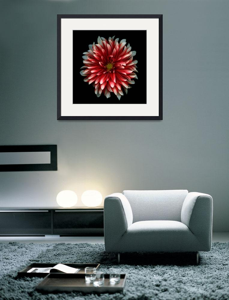 """Red and White Dahlia&quot  (2008) by OGphoto"