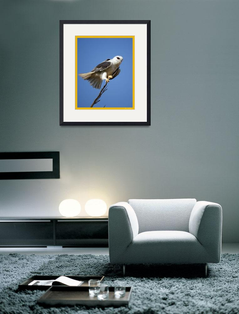 """Black Shouldered Kite&quot  by santanu"