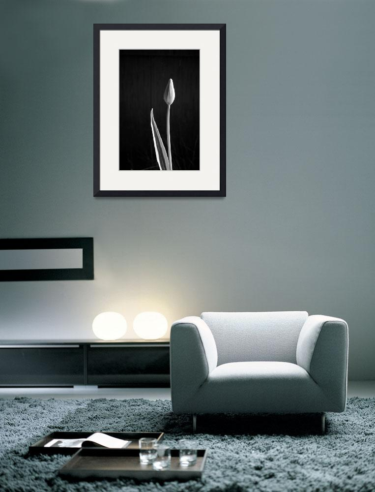"""Lone Tulip&quot  (2008) by showngo"