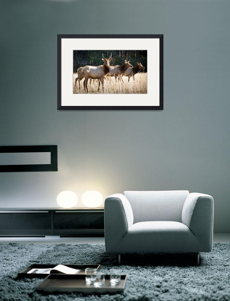 """Cataloochee Elk - Great Smoky Mountains Wildlife&quot  (2011) by DAPhoto"