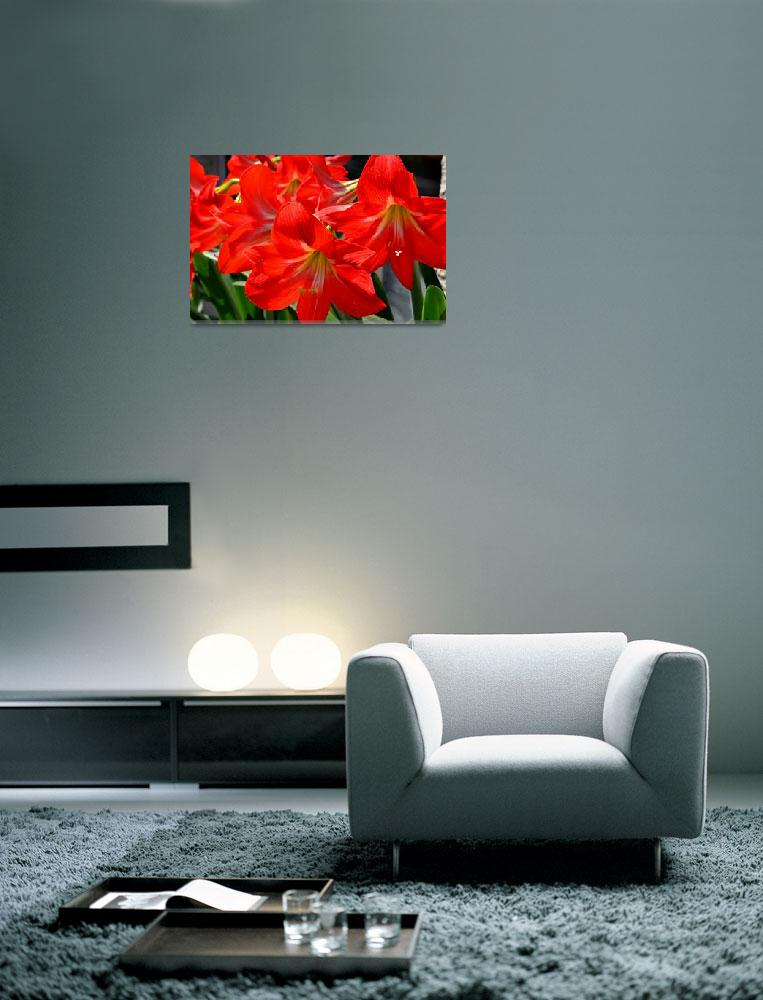 """Red Amaryllis Flowers&quot  (2012) by pravine"