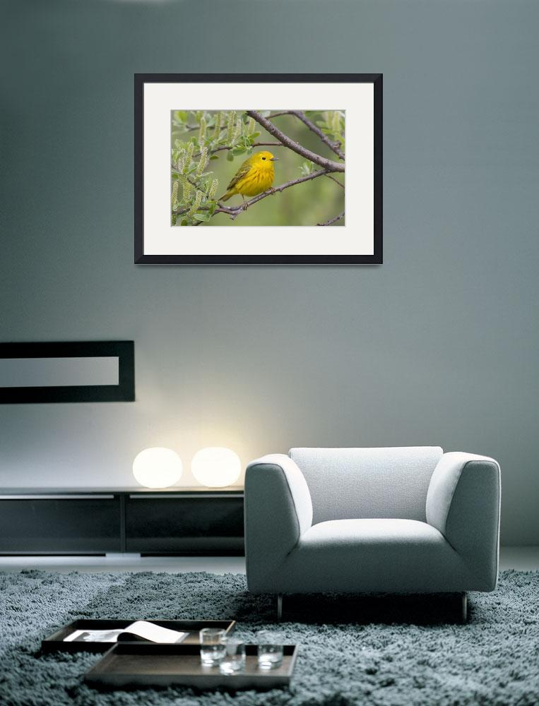 """A male Yellow Warbler perched in a willow, Copper&quot  by DesignPics"