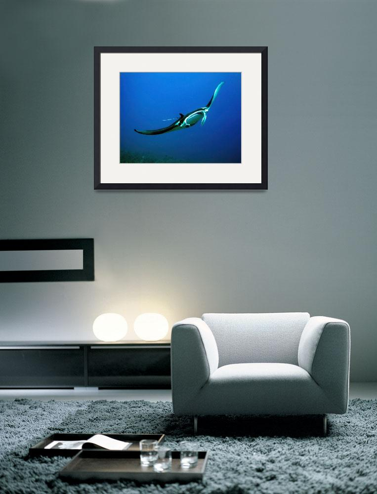 """Manta Ray&quot  (2010) by MKJimages"