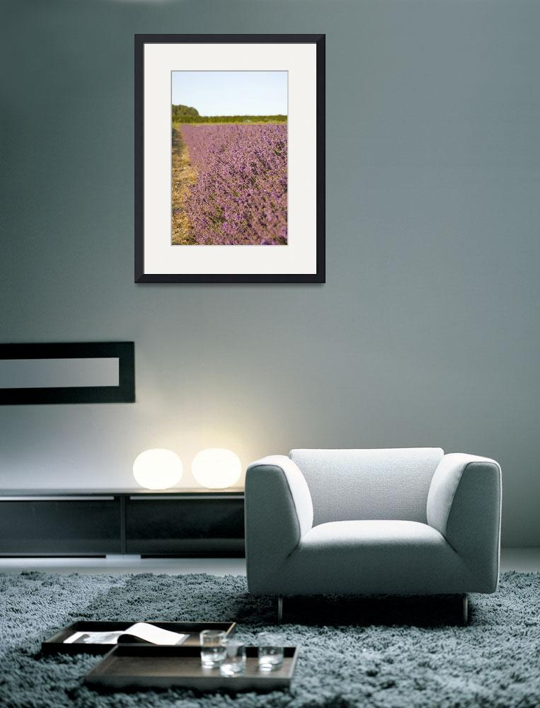 """Lavender fields&quot  (2010) by IanMiddletonphotography"