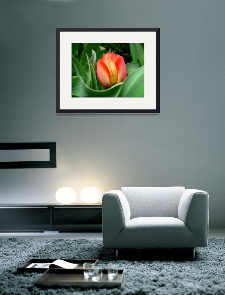 """Close-up of Young Red Tulip Flower w/ Green Leaves&quot  by Chantal"