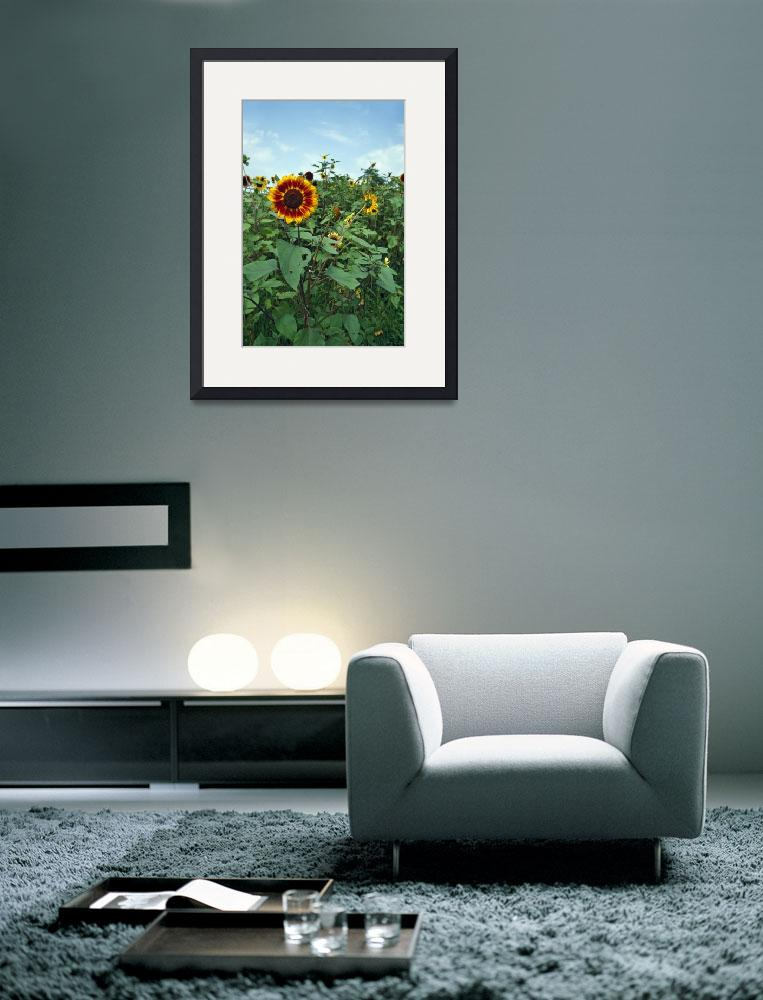 """Sunflowers (Helianthus annuus) blooming in field&quot  by Panoramic_Images"