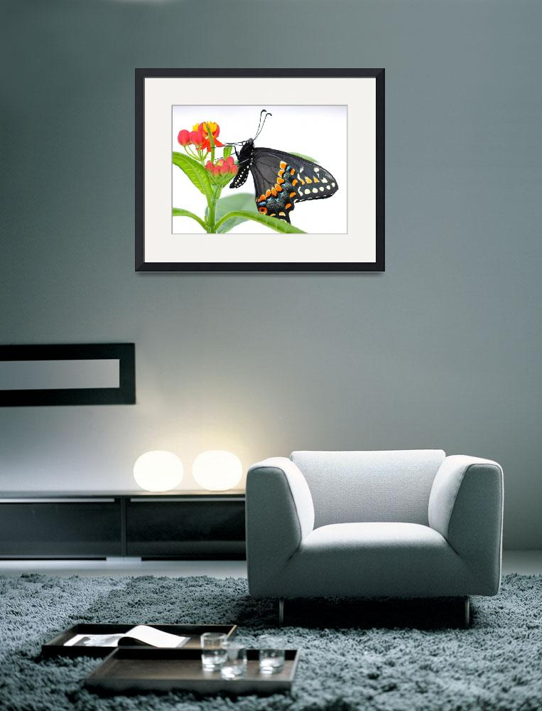 """Daniel the Black Swallowtail Butterfly&quot  (2011) by evansonart"
